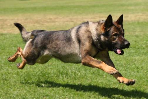 This handsome guy or gal is from the National Police Dog Foundation (http://www.nationalpolicedogfoundation.org/)
