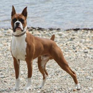Did you think this was a pit bull?  It's not.  It's a Boxer. (Photo from: http://fantasticaanimal.blogspot.ca/2013/03/boxer-dog-description.html)