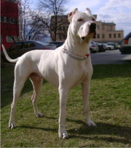 Did you think this was a pit bull? It's not.  It's a Dogo Argentino. (Photo: puppydogweb.com)