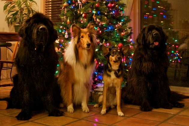 Lots of pups in Osoyoos, BC for  the holidays! Moses, my parents' dog Joshua, Crosby (who's hanging out over the break), and Alma.