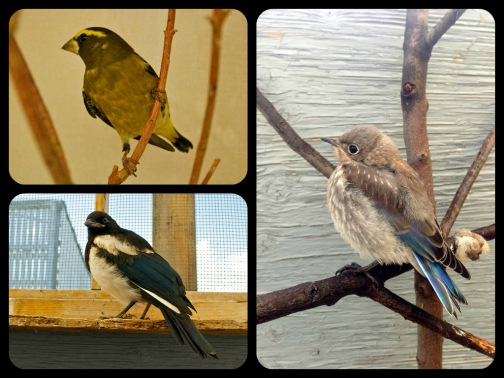 The vast majority of patients at AIWC are birds. Here you have a magpie, an evening grosbeak, and a blue bird