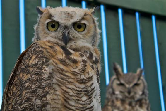 AIWC patients: Great horned owls