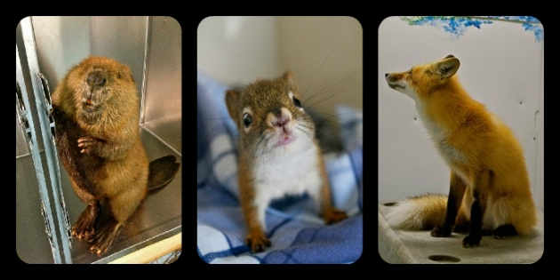 A beaver, a red squirrel, and a red fox - all 2013 AIWC patients