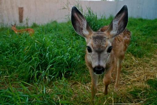 AIWC mule deer fawn