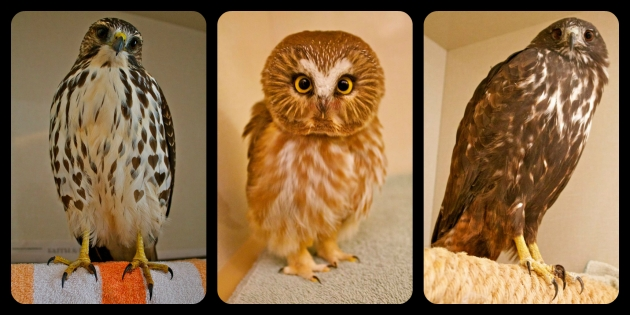More AIWC patients: A broad-winged hawk; a saw-whet owl; and a red-tailed hawk