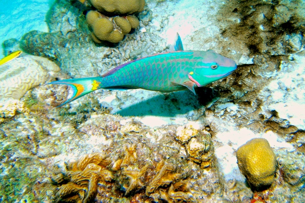 A photo of a parrotfish I took on a dive trip to Bonaire many years ago. Fun fact: parrotfish can change their sex.