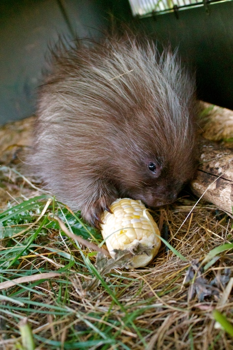 A dog-porcupine interaction is rarely fatal for dogs, but frequently results in harm to the porcupine. I'd hate for one of my dogs to be the cause of that. Look at this baby porcupine - look how adorable!